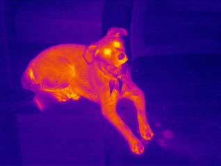 A thermal image of a dog from the Prism DS Infrared Camera