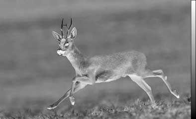 Thermal image of a deer