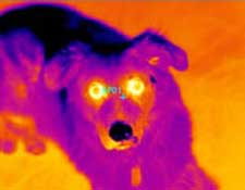 A thermal image of a dog taken with the RAZ-IR NANO HT industrial thermal camera
