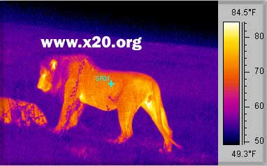 A thermal image of a lion
