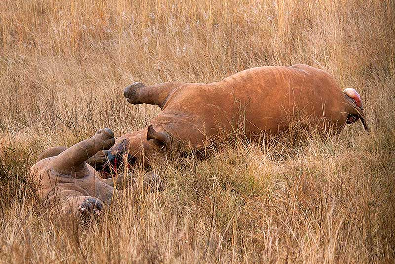 Two rhinos lay dead after poachers shot them for their horns